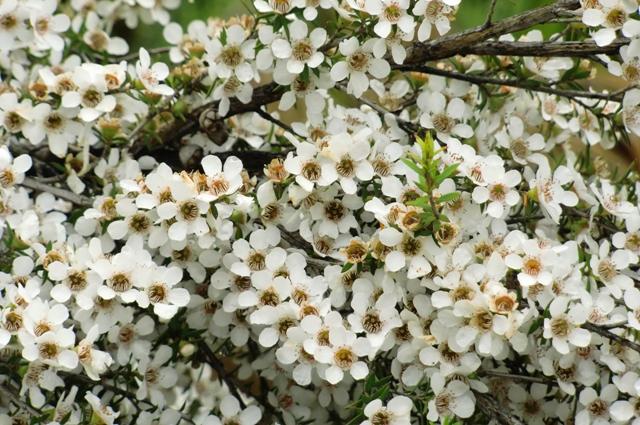 マヌカの花画像